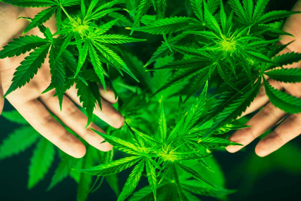 High Potency Weed Linked To Psychotic Episodes, Illness In Young Users